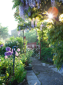 Garden view with wisteria.